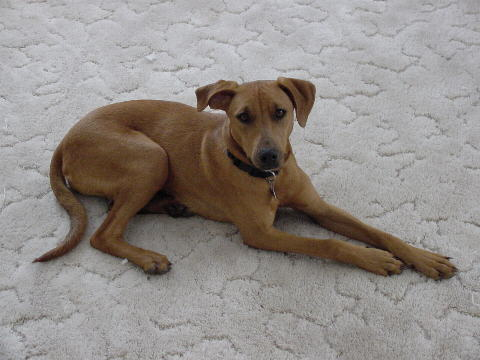 a female Vizsla mix in